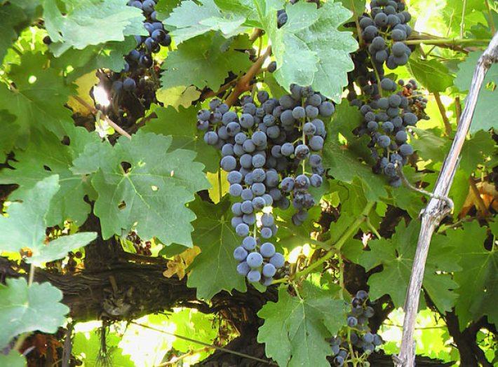 Uvas sobre maduras