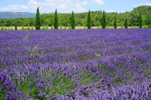 large field of purple lavender, with a backdrop of green forest