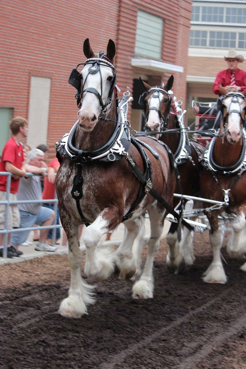 Clydesdale Breeders Of The Usa Photo Gallery Clydesdale