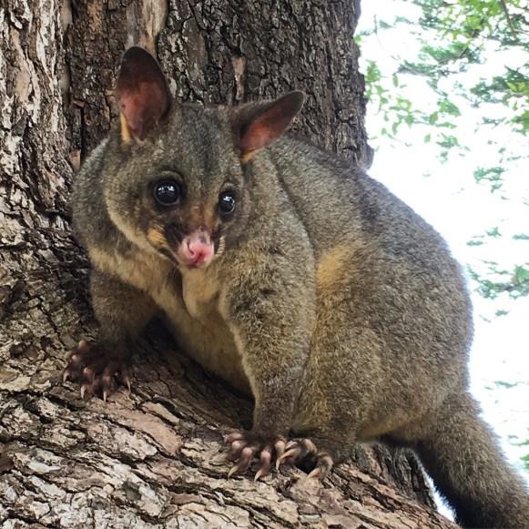 possum-sydney