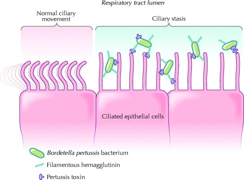 small resolution of pertussis cell diagram manual e book pertussis cell diagram