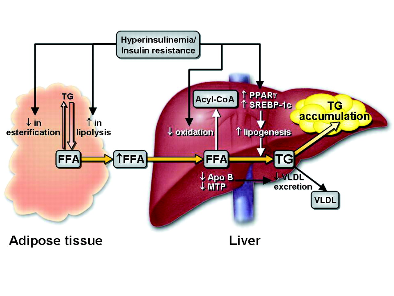 hight resolution of red liver diagram
