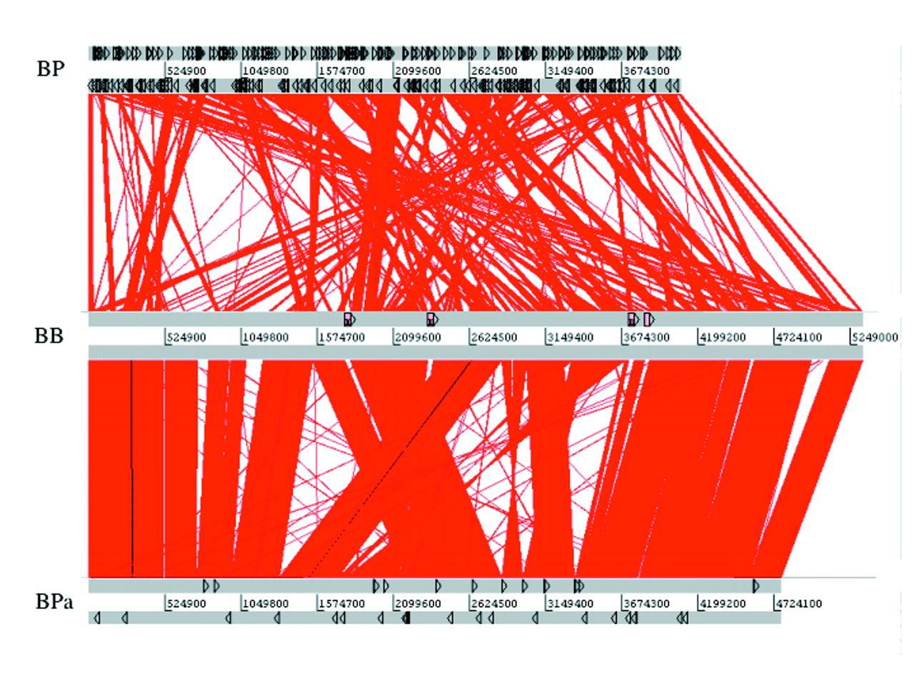 hight resolution of figure2 bordetella pertussis the intersection of genomics and pathobiology cmaj