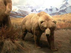 Face à face avec un ours à l'American Museum of Natural History