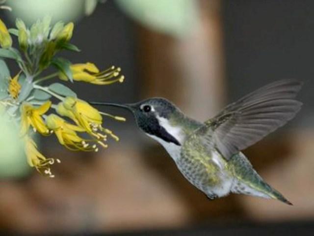 Costa's hummingbird visits Bladderpod flower (Cleome isomeris), Photo: Gary S. Meredith