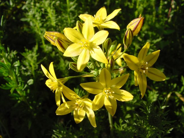 Prettyface (Triteleia ixioides)