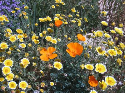 Tidy tips and California poppy (Layia platyglossa and Eschscholtzia californica), Photo: Laura Camp