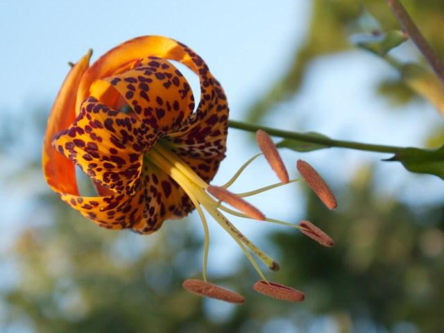 Humboldt's lily