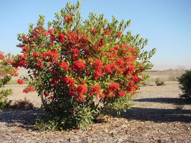 Toyon is covered with red berries in late fall and winter