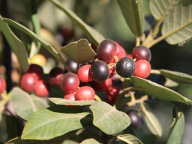 California coffeeberry