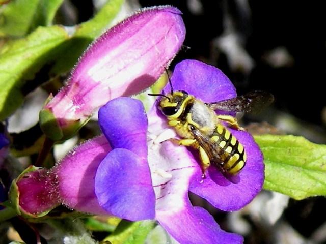 A. illustre (Megachilidae) on Penstemon spectabilis