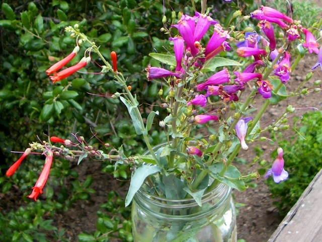 Scarlet bugler, purple or showy penstemon, and their violet hybrid, Penstemon x parishii