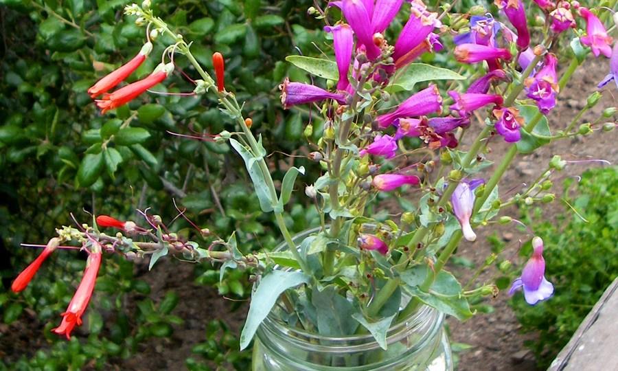 Scarlet bugler, purple or showy penstemon, and their violet hybrid, Penstemon x parishii
