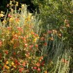 Artemisia californica accenting Bush Monkeyflower (Mimulus aurantiacus)