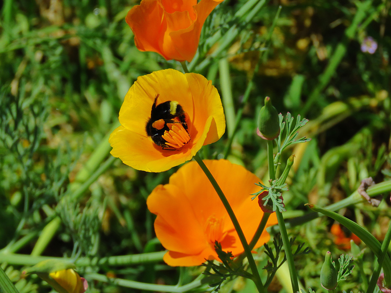 Bumblebee in poppy. Credit Jim Wadsworth.