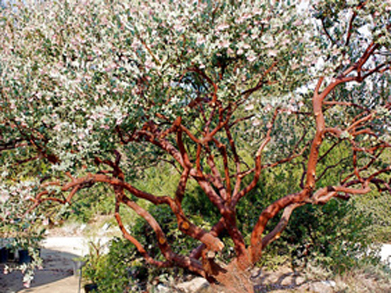 Arctostaphylos 'Lester Rowntree' pruned to show striking bark.