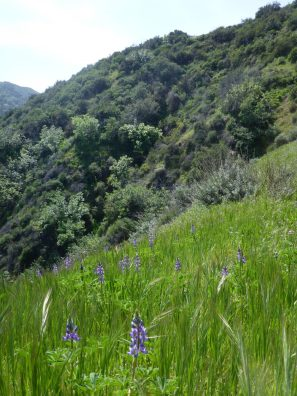 A hillside of chaparral is enlivened by lupines in the foreground at Santa Clarita Woodlands Park, Los Angeles County.
