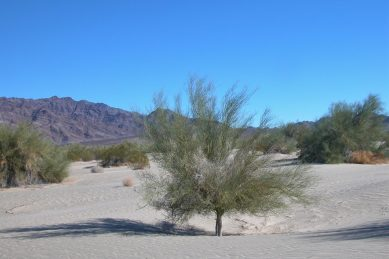 Microphyll woodlands in California's Sonoran Desert.