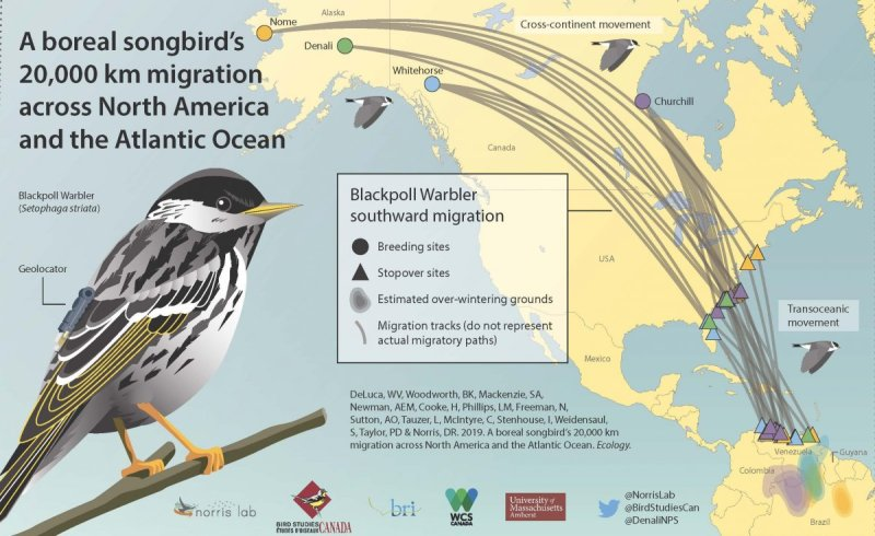 Blackpoll migration graphic showing routes from South America through North America