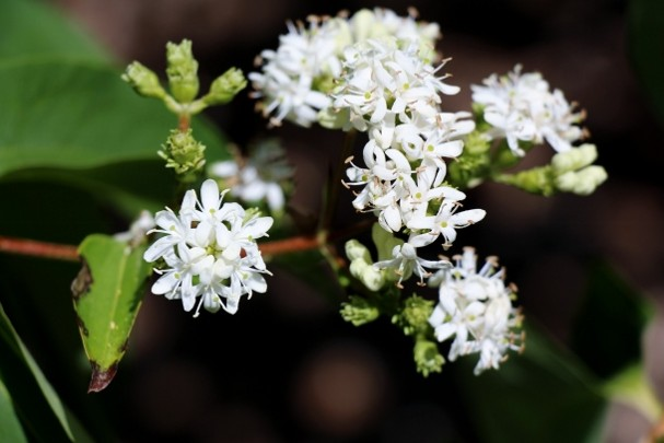 Image result for heptacodium miconioides