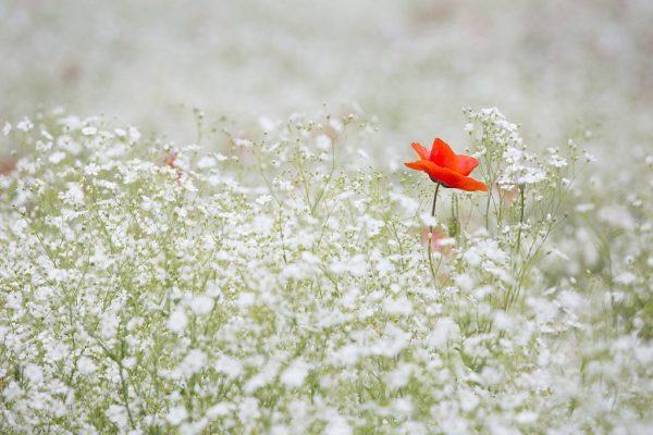 Afbeelding van klaproos tussen andere bloemen gevonden op coachingmetsanne.com Coach Den Haag