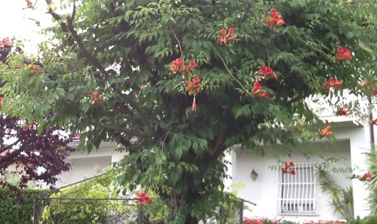 Vecchio albero risorto