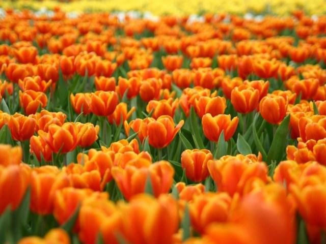 fiori-arancioni-sfondo1