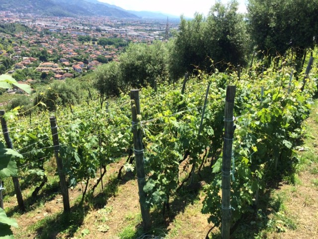 Filari e vista del panorama dall'Azienda Agrigola L'Altra Donna a Strettoia (Versilia)