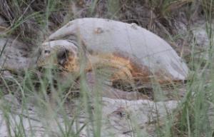 PF_turtle