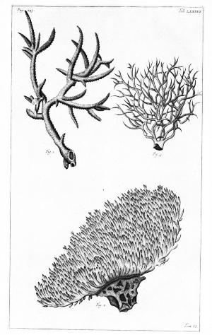 Lithodendron