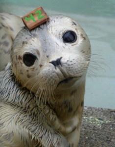 Seal Rescue ~ Ceeley the Harbor Seal