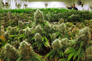 Marijuana? ~ Do You Want HMB to be the Napa of Pot?
