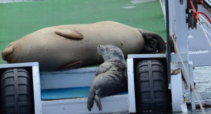 Opening for Seal Pupping and Sailing Season at the Half Moon Bay Yacht Club!