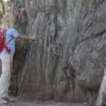 The Story of An Old-Growth Redwood ~ Methuselah
