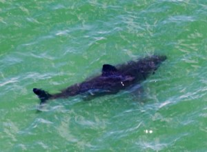 Shark Sightings Off the San Mateo County Coast by Peter and Thomas Lundgard