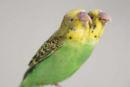 two headed budgerigar