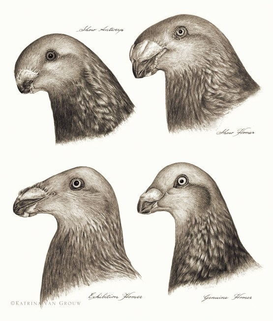 pigeon heads by katrina van grouw