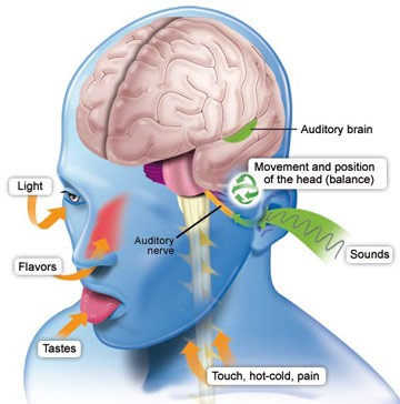 Image result for human brain and sense organs