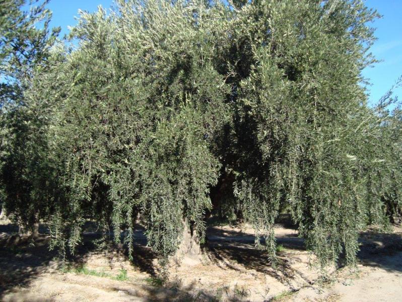 De Mendoza, ensalada tibia con olivas.