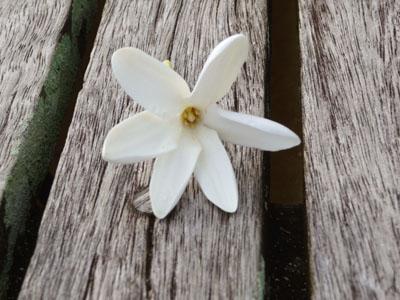 Fleur de tiare (gardenia tahiensis)