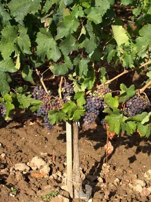 vigne à St Emilion