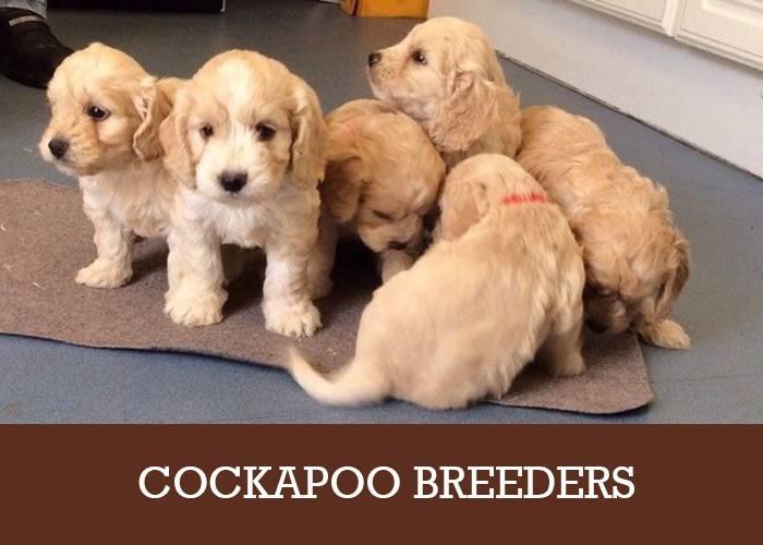 Cockapoo Breeders UK  A List Of Reputable Puppy Breeders
