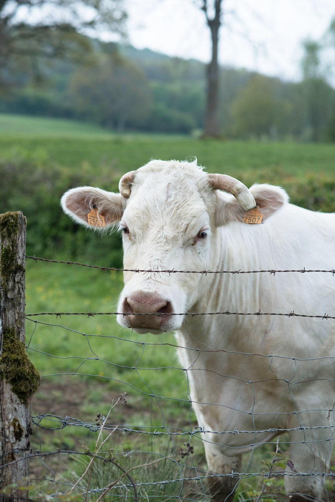 A white cow behind a fence in the Burgundy region of France, as captured by Winnipeg travel blogger Cee Fardoe of Coco & Vera