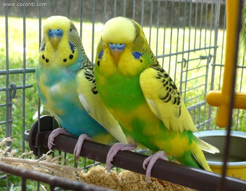 Birbino e Zampa cocoriti maschietti