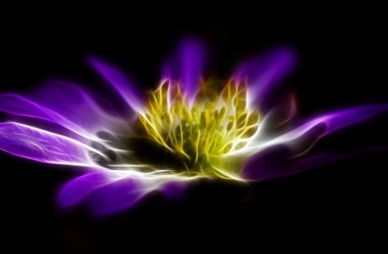 Purple Gold Flame of Cosmos