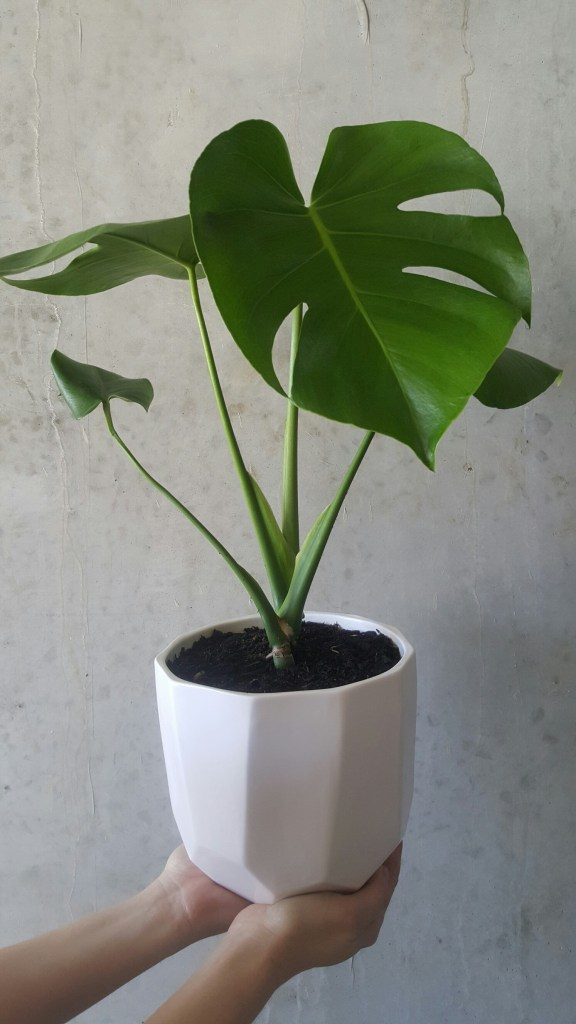 Buy our Indoor plants online - beautiful greenery for the home or office