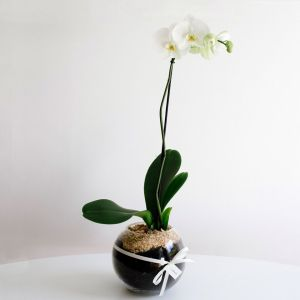 potted phalaenopsis orchid
