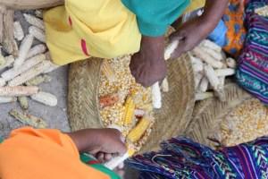Enfrentarán comunidades indígenas el invierno sin cosecha de maíz (7)