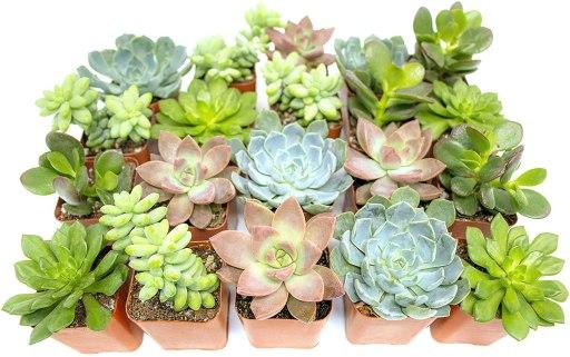 succulents as baby shower favor