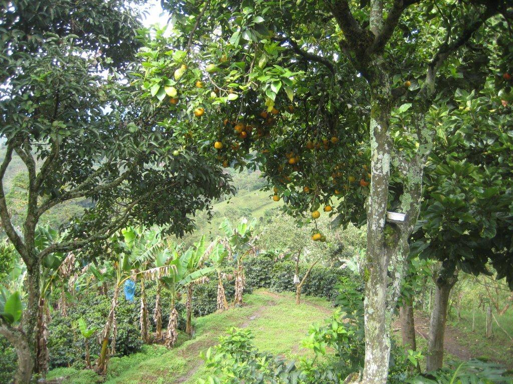 Fruit trees providing shade canopy for the coffee plants & Fruit trees providing shade canopy for the coffee plants | Coffee ...